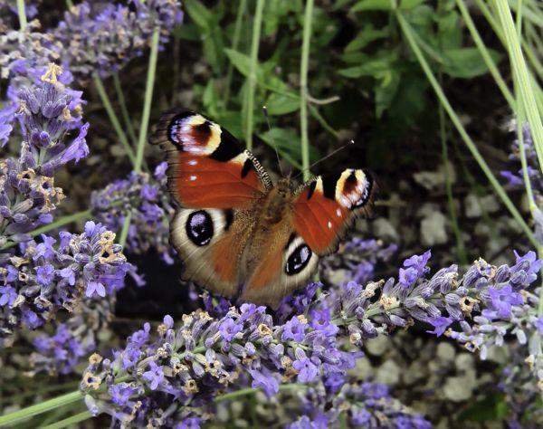 lav_butterfly2